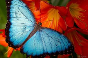 800px-Papillon_Bleu_-_Blue_Butterfly_(5861969172)